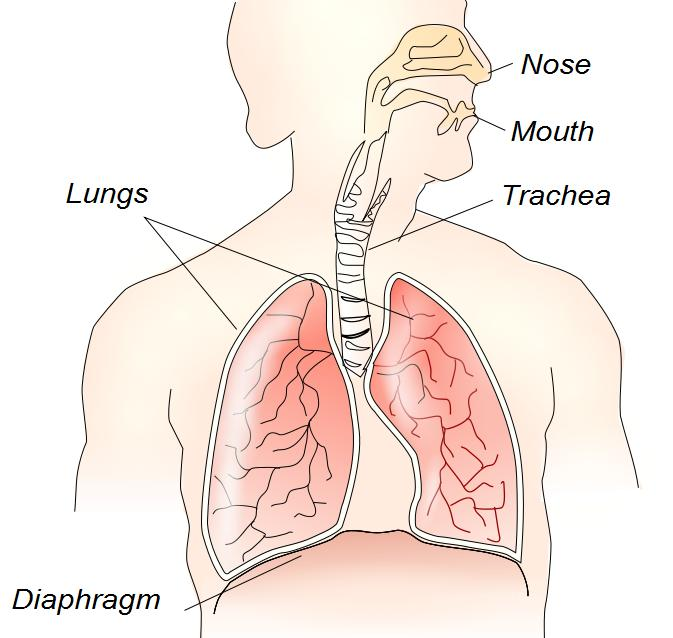 diaphragm and lungs relationship